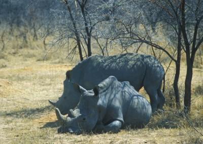 white_rhinos-zimbabwe