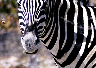 zebra_portrait2