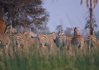 zebras-hindends