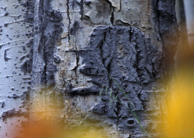 aspen_tree